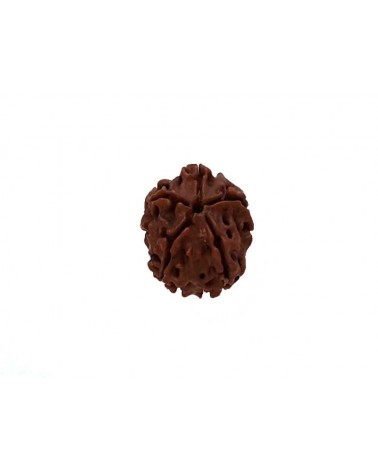 Graine Rudraksha perle 5 faces17-20mm Marron